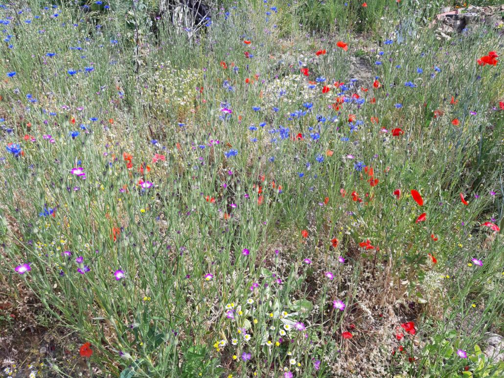 Wildblumenwiese Juni 2020
