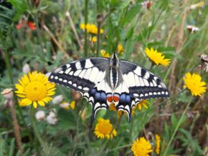 Schmetterling Schwalbenschwanz auf Blüte
