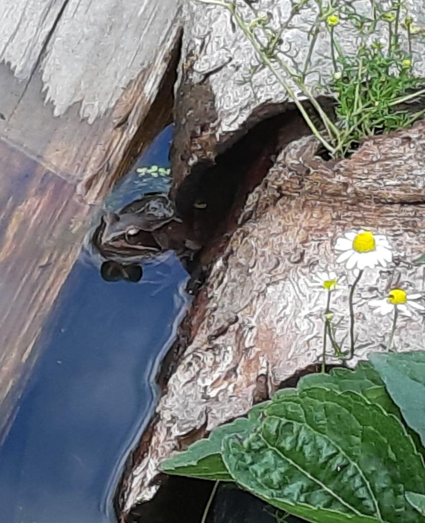 Grasfrosch im Teich