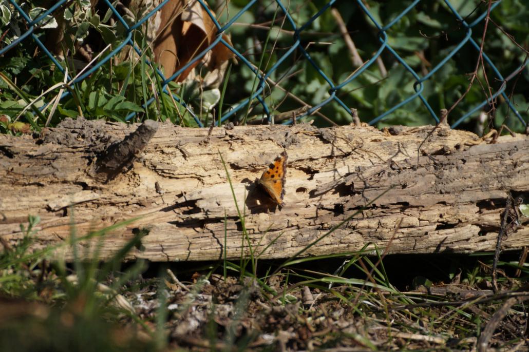 kleiner Fuchs auf morschem Holzstamm