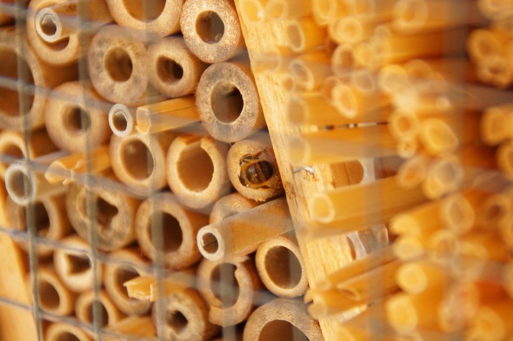 Wildbiene am Bambusröhrchen