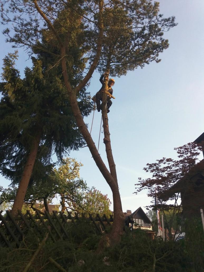 Baumkletterer in Fichte