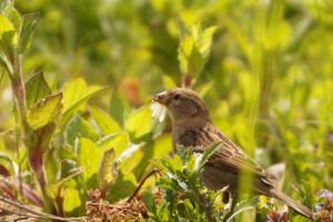 Sperling mit Insekt im Schnabel
